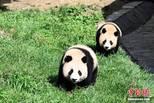 中國大熊貓保護研究中心內熊貓憨態可掬