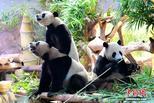 國際熊貓日特刊:國寶世界各地賣萌
