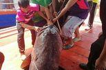 泰国渔夫钓上198公斤石斑鱼