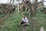 350多棵猕猴桃树一夜被砍,谁干的??
