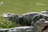 扬子鳄保护区遭侵占 官员:谁说不能占