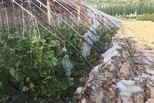 高压线掉落引燃大棚 农户损失超20万元