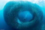 潜水者深海遇沙丁鱼大军 似巨大旋涡