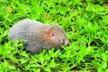 竹鼠能吃吗?专家建议:非常时期不要食用