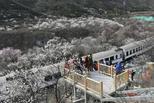 最美列車開往春天:居庸關列車穿越花海