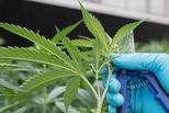 大麻合法化5年后 这州社会健康问题浮现