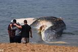 澳大利亚海滩现巨型鲸鱼尸体 被迫关闭