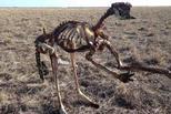 澳洲本世纪最长旱灾持续 袋鼠晒成骨架