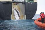 日本重启商业捕鲸 不止是满足口腹之欲
