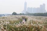 武汉汉口江滩芦荻花开 蔚为壮观