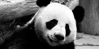 泰媒:旅泰大熊猫创创疑似噎死