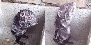 成精了?老鼠模仿人洗澡 直立站着打泡泡
