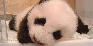 3只大熊猫公开招募认养 百万可终身冠名