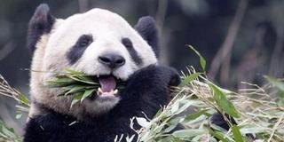 """中国旅加大熊猫面临""""断粮"""""""