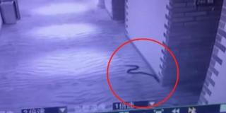 男子带毒蛇胁迫女孩开房 自己被咬身亡