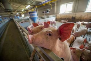 官方:非洲猪瘟疫苗开始临床试验