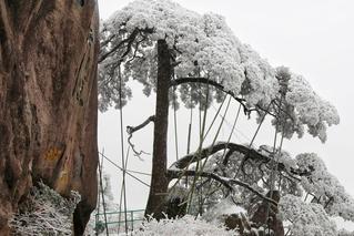 黄山持续降雪 24根支撑杆保护迎客松
