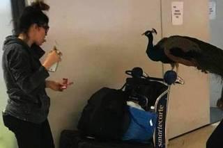 女子带宠物孔雀登机被拒 乘客好奇观看