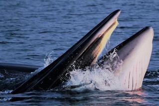 广西发现中国大陆首例近海岸大型鲸群