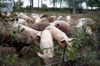 云南发生非洲猪瘟疫情 已无害化处理
