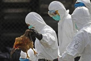 越南现禽流感疫情 数万只家禽被扑杀