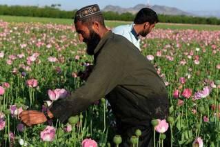 阿富汗何以成为全球最大鸦片生产国